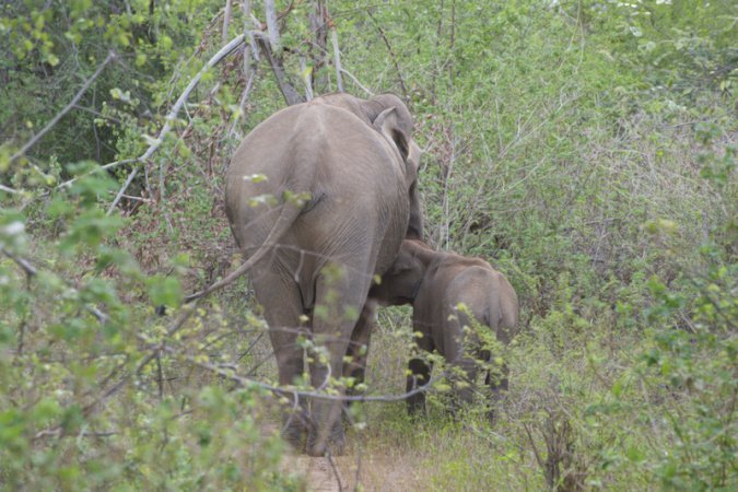 Safari allo Udawalawe Park in Sri Lanka elefanti - 1 (1)